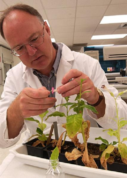 Tobacco Plants Genetically Modified To Produce Medicine