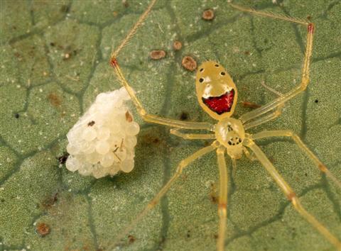 Hawaiian Happy Face Spider