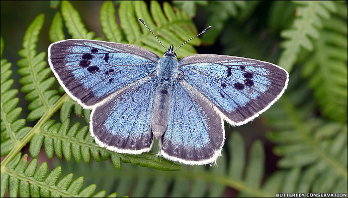 Blue Butterfly That Mimics Ants Re-introduced To Britain After 30 Years