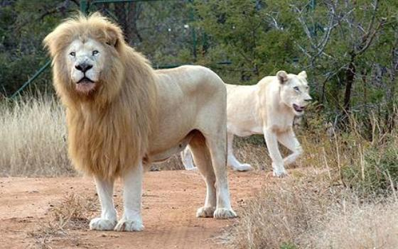 White Lions Return To The Wild