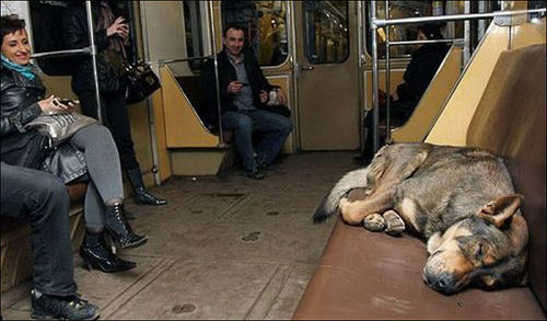 Wild Dogs In Russia Take The Train To Commute