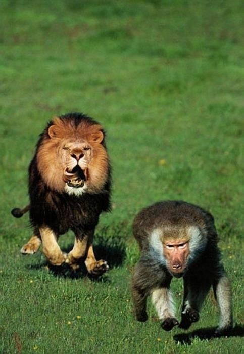 Lion and Baboon 789