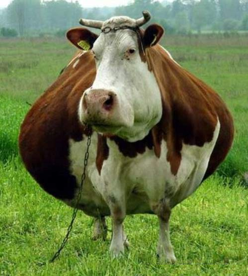 Fat Cow 763