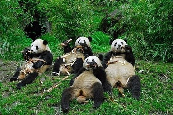 panda couch potatoes 468