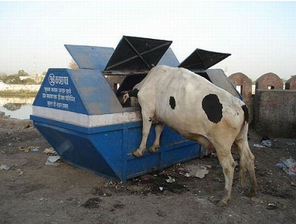 Dumpster Diving Cow 473