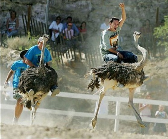 Ostrich Racing 563