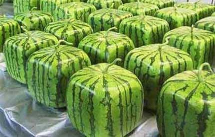 Square Melons 402