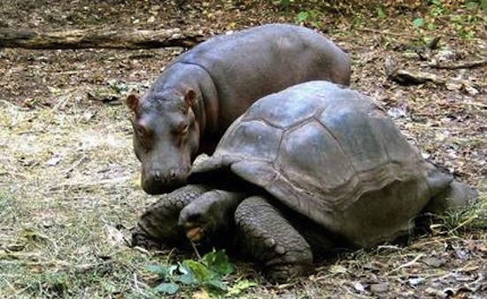 hippo-and-tortoise