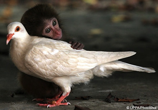 monkey-and-pigeon