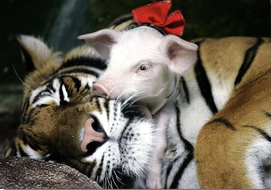 tiger-and-piglet