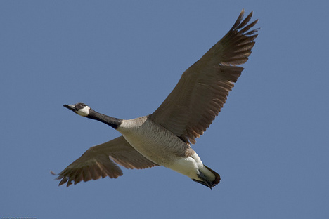 canada-geese-flickr