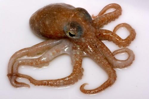 octopus_2a-500x332