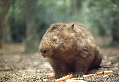 wombat-with-carrots