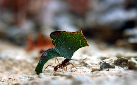 leaf-cutting-ants34567890