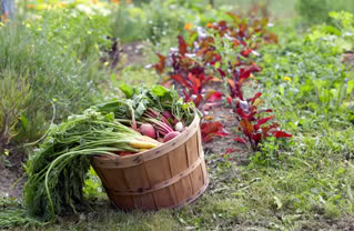 Fresh-Vegetables-From-Garden-Photo