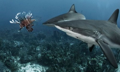 sharks-eating-lionfish-500x303