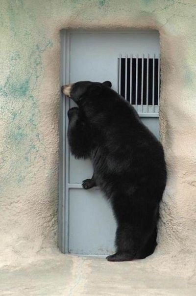 Little known fact - Some bear attacks begin with a polite knock on the door 745