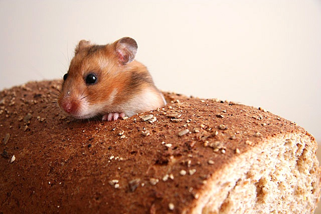 This mouse is inbred 244