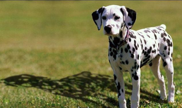 This photo shows the spots on the dog are fake 325,jpg