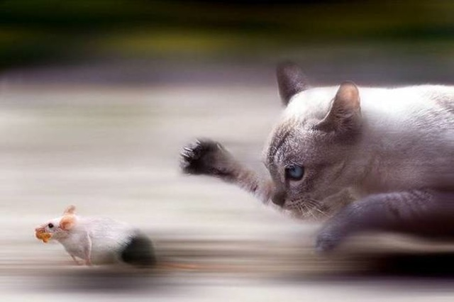 Cat and mouse 243