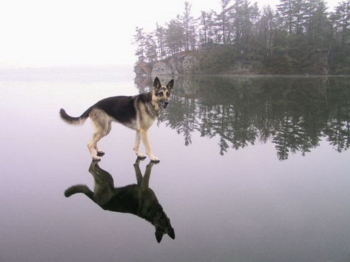 Dog walking on water 573