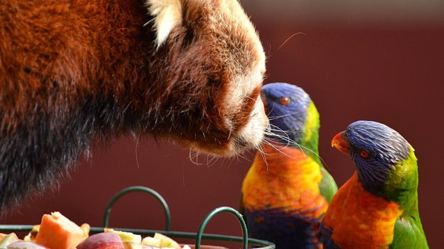 Red panda guarding its food from rainbow lorikeets 333