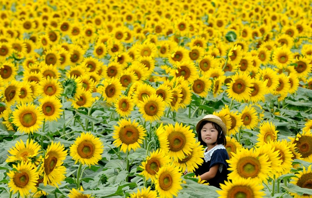 Sunflowers 784