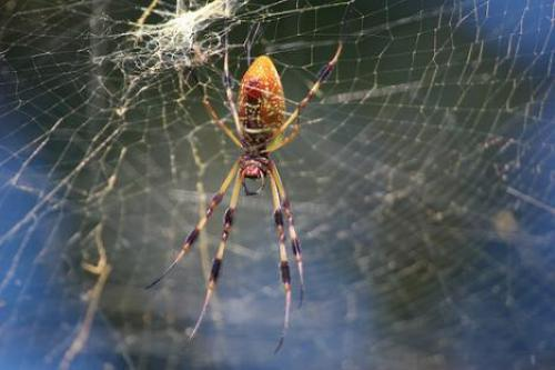 golden-spider-on-web