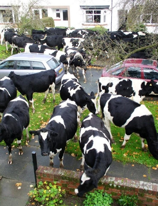 Suddenly cows 055