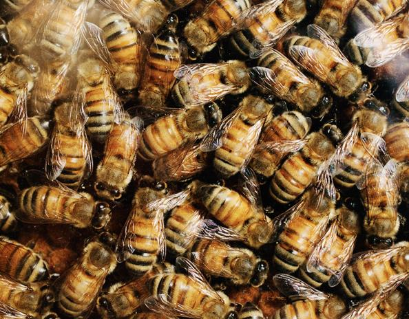 bees 34567