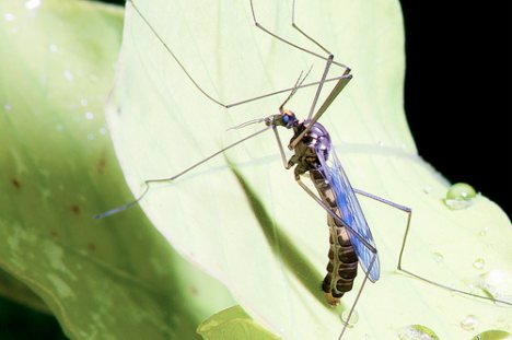 male-mosquito-leaf