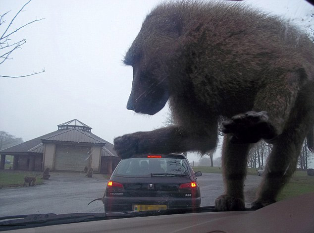 I, for one, welcome our new baboon overlords 443