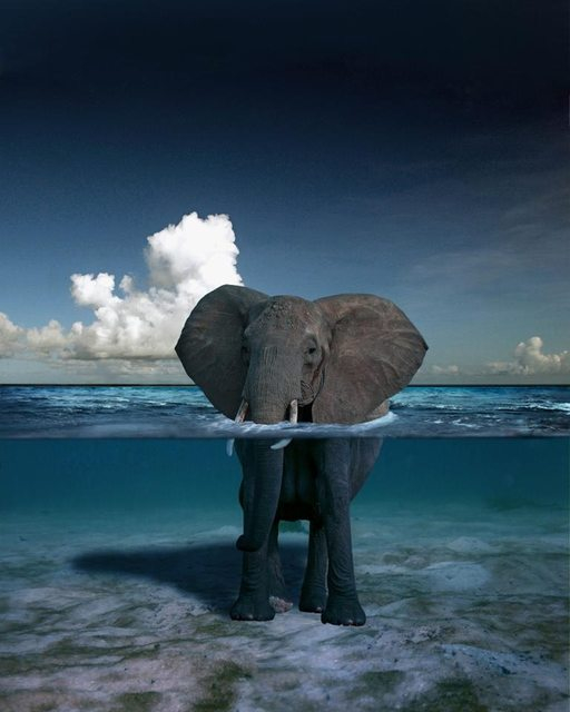 Elephant Above & Below Water 220