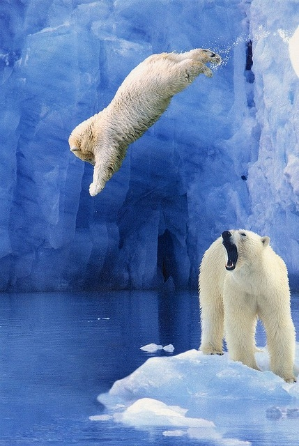 polar bears are awesome 909