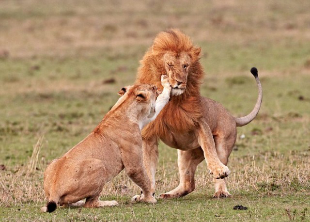 Lion gets slapped...wonder what he said to her 675