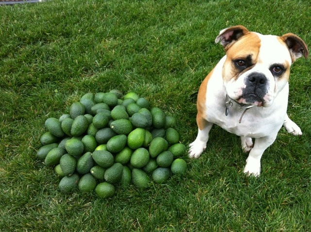 my dog Muggsy and these are his avocados 915