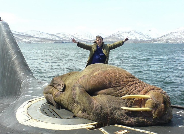 Giant Walrus on a Russian boat q6g5d4
