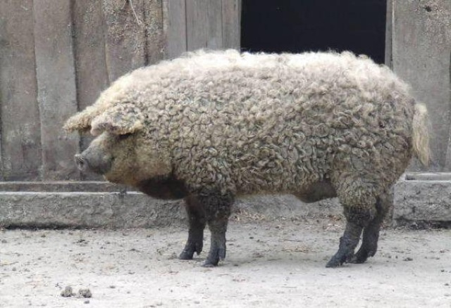 The Mangalitsa- Part Pig, Part Sheep, Completely delicious 24hs3