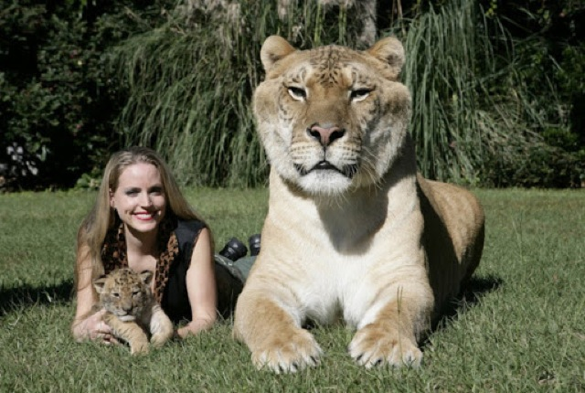 The worlds largest Liger 4t23e1