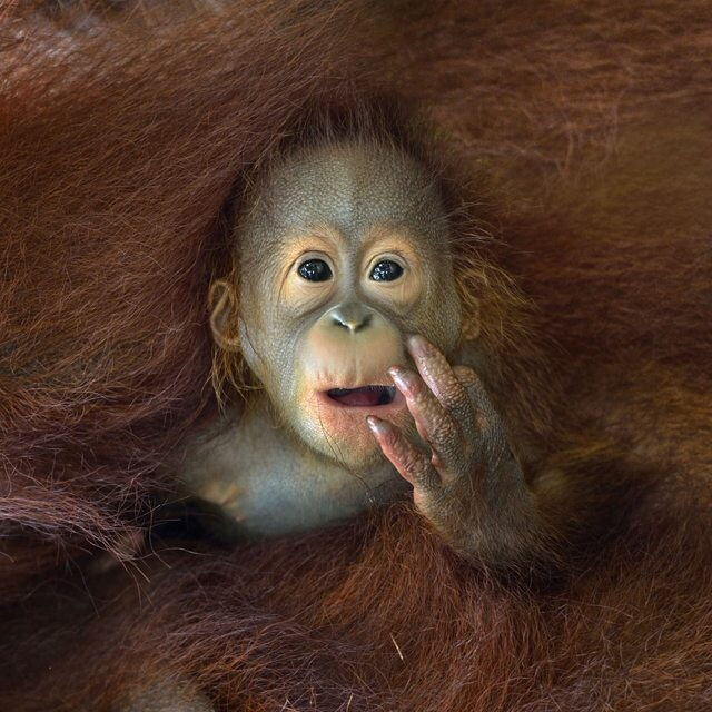 baby orangutan peeks out from his mother's embrace f3253