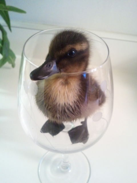 duck in a glass g22s1