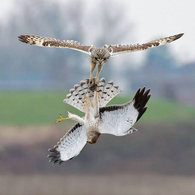 Owl and a Hawk battle it out in mid air for dinner 1z2x