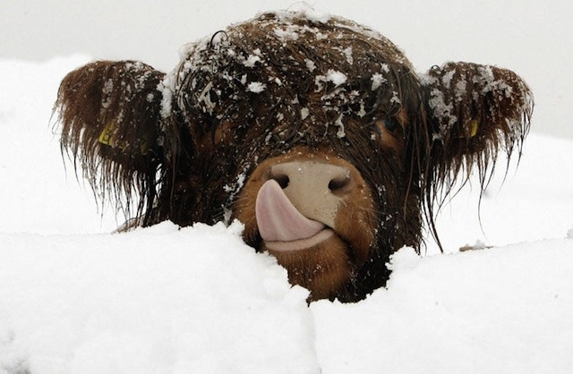Buffalo during the blizzard v35n7