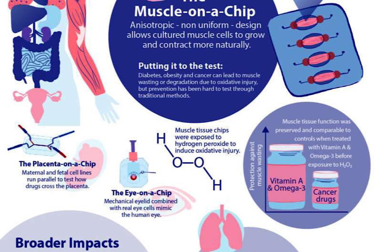 Latest 'organ-on-a-chip' is a new way to study cancer-related muscle wasting